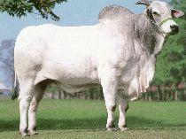 Castracao química e hormonio de engorda (bovinos)
