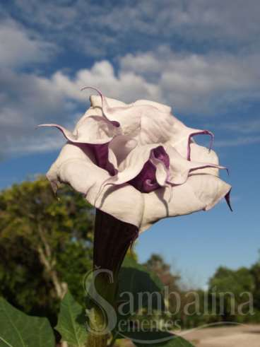 Datura speckled blue