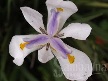 Dietes iridioides sweet – moréia